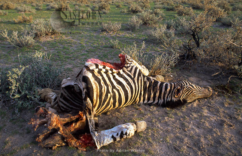 Burchell's Zebra (Equus Burchelli), Carcass Of A Zebra, Etosha National Park, Namibia