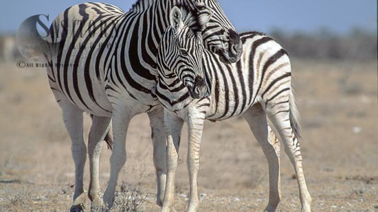 Burchell's Zebra (Equus Burchelli), Female And Foal, Etosha National Park, Namibia