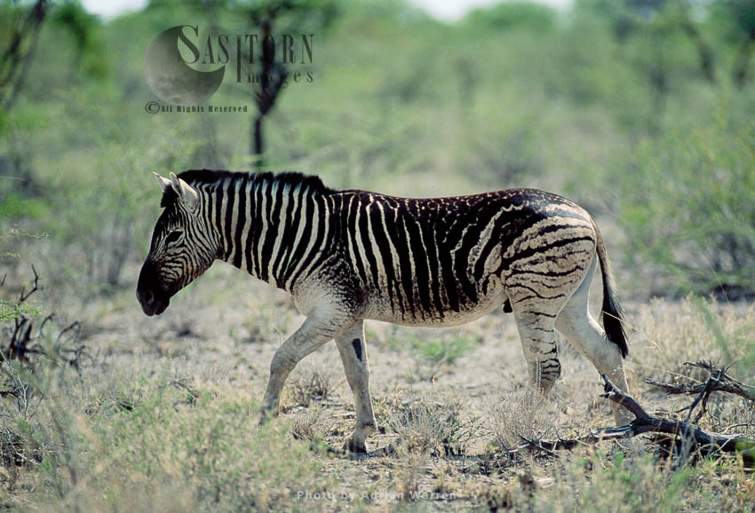 Burchell's Zebra (Equus Burchelli) With Odd Markings, Etosha National Park, Namibia