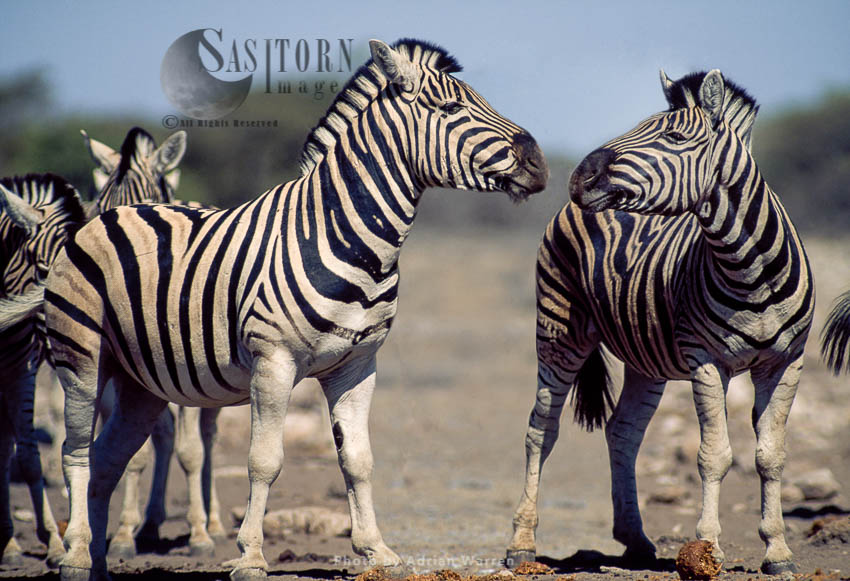 Burchell's Zebra (Equus Burchelli), Etosha National Park, Namibia, Africa