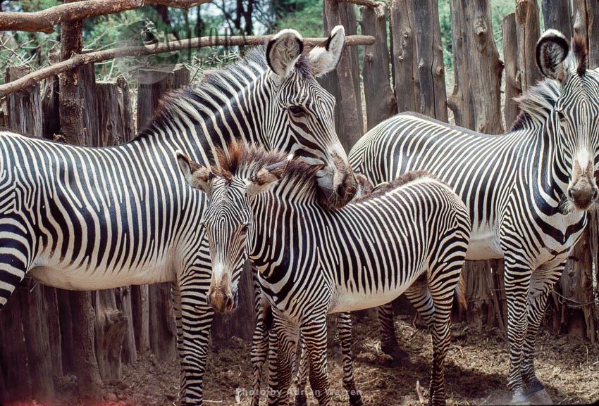 Grevy's Zebra (Equus Grevyi) Newly Captured, Samburu,  For Translocation Of  To Tsavo, Kenya, Africa