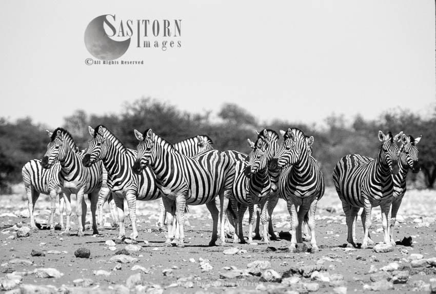 Burchell's Zebra (Equus Burchelli), A Dazzle Of Zebras, Etosha National Park, Namibia
