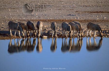 Burchell's Zebra (Equus Burchelli), Drinking At A Water Hole, Etosha National Park, Namibia