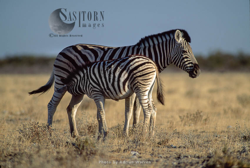 Burchell's Zebra (Equus Burchelli), Foal Suckles From Mother, Etosha National Park, Namibia
