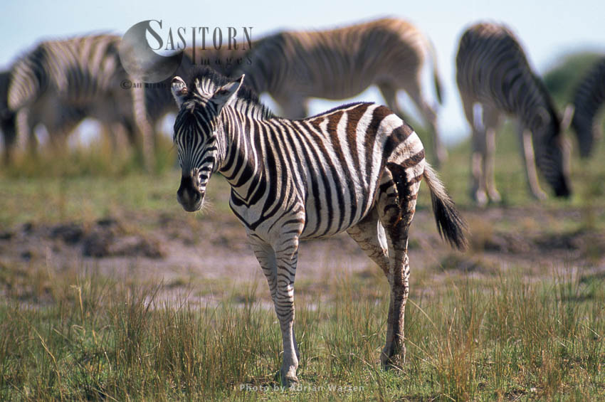 Burchell's Zebra (Equus Burchelli), Foal With Injury On Upper Leg, Etosha National Park, Namibia