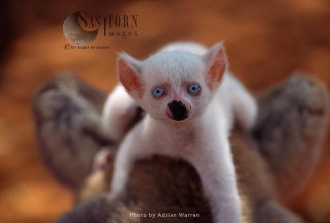 Ring-tailed Lemur (Lemur Catta) : All White Albino Baby Male, Berenty, Madagascar