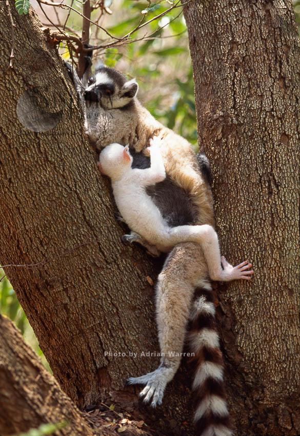 Ring-tailed Lemurs (Lemur Catta): All White Albino Baby Lemur Suckles On Mother, Berenty, Southern Madagascar