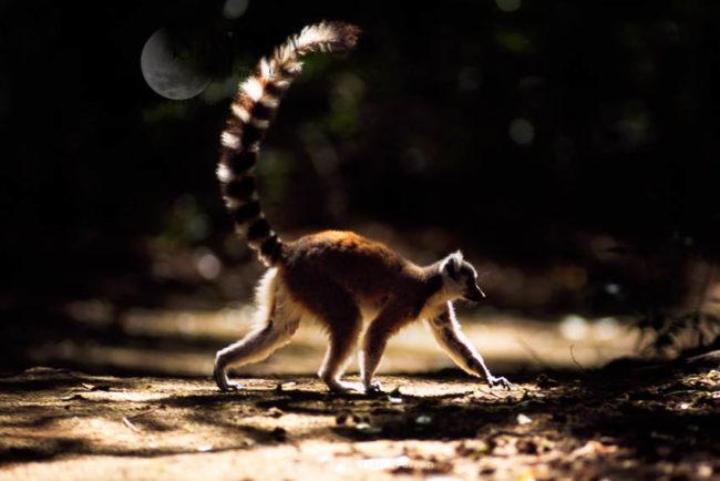 Ring-tailed Lemur (Lemur Catta) Walking, Berenty, Southern Madagascar