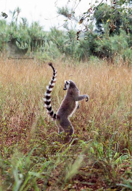 Ring-tailed Lemur (Lemur Catta), Berenty, Southern Madagascar