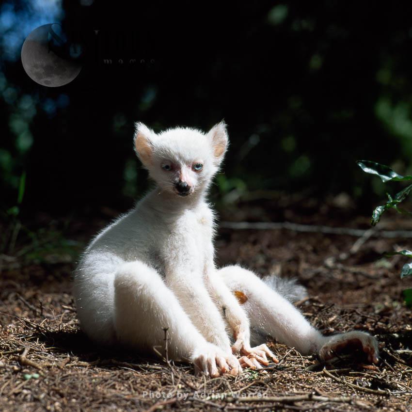 Ring-tailed Lemur (Lemur Catta): All White Baby Male Albino Lemur Resting On Forest Floor, Berenty, Madagascar