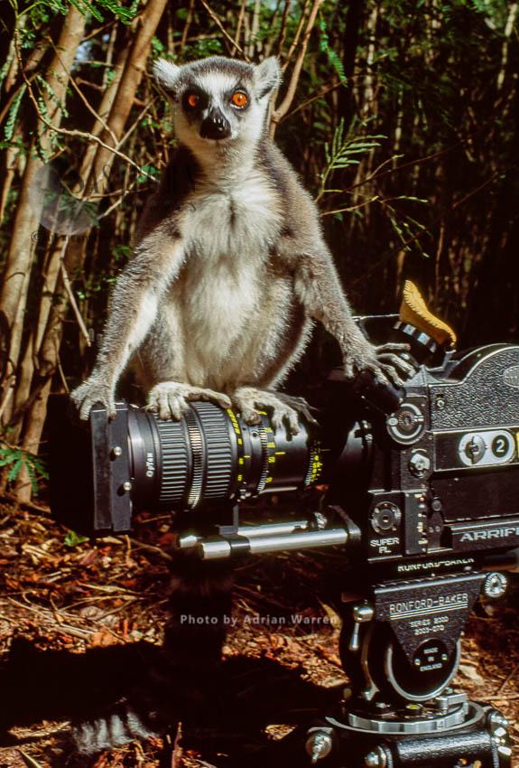 Ring-tailed Lemur (Lemur Catta) Sitting On Camera, Berenty, Madagascar