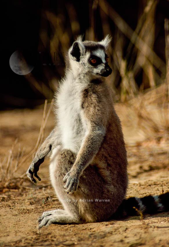 Ring-tailed Lemur (Lemur Catta) Sunbathing On Ground, Berenty, Madagascar