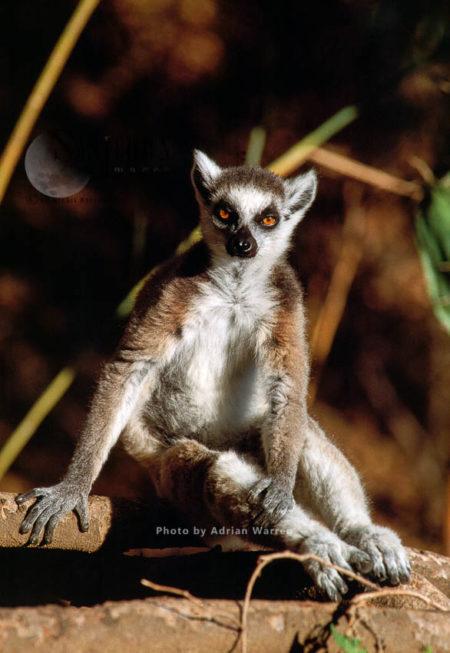 Ring-tailed Lemur (Lemur Catta) Resting On Ground, Berenty, Madagascar