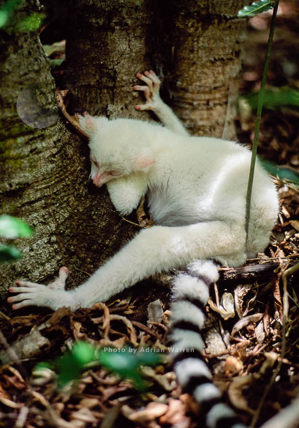 Ring-tailed Lemur (Lemur Catta): All White Baby Male Albino Lemur Not Feeling Well, Berenty,Madagascar