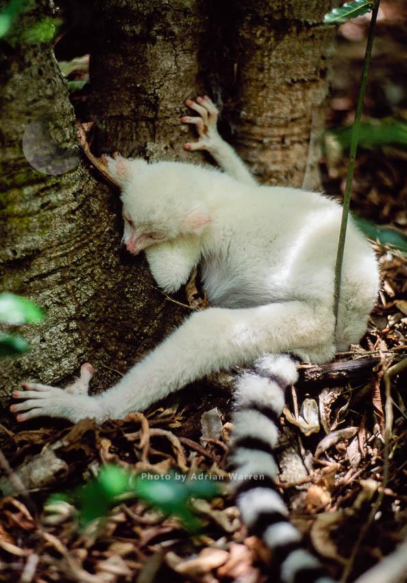 Ring-tailed Lemur (Lemur Catta): All White Baby Male Albino Lemur Not Feeling Well, Berenty,Madagascar