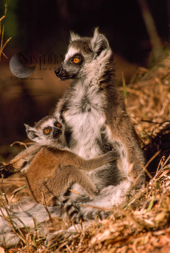 Ring-tailed Lemur (Lemur Catta), Mother And Baby, Berenty, Southern Madagascar