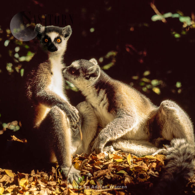 Ring-tailed Lemurs Grooming (Lemur Catta) Grooming, Berenty, Southern Madagascar