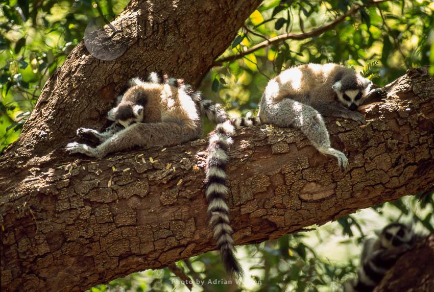 Ring-tailed Lemurs (Lemur Catta) Resting (taking Siesta) On Tree, Berenty, Madagascar
