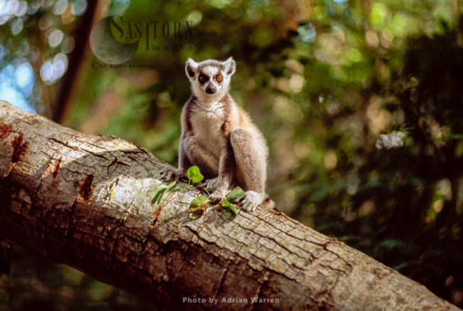 Ring-tailed Lemur (Lemur Catta) Sitting On Tree, Berenty, Southern Madagascar