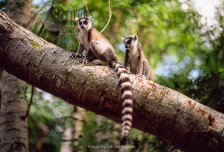 Ring-tailed Lemurs (Lemur Catta) Resting On Tree Trunk, Berenty, Southern Madagascar