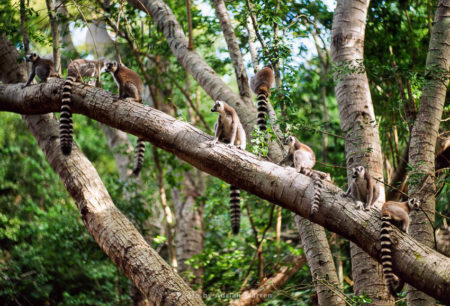 Ring-tailed Lemurs (Lemur Catta) Group Resting On Tree, Berenty, Southern Madagascar