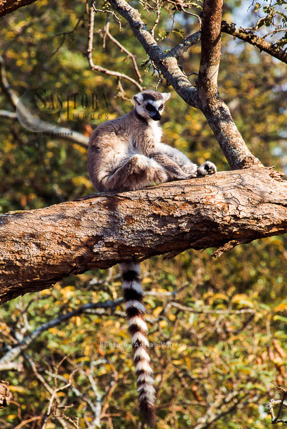 Ring-tailed Lemur (Lemur Catta) Resting On Tree, Berenty, Southern Madagascar