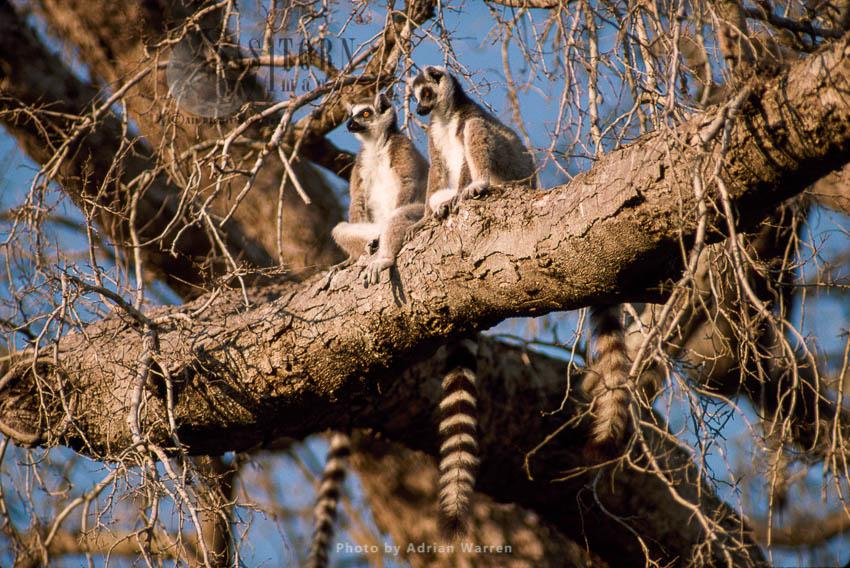 Ring-tailed Lemurs (Lemur Catta) Group Sunbathing On Tree, Berenty, Southern Madagascar