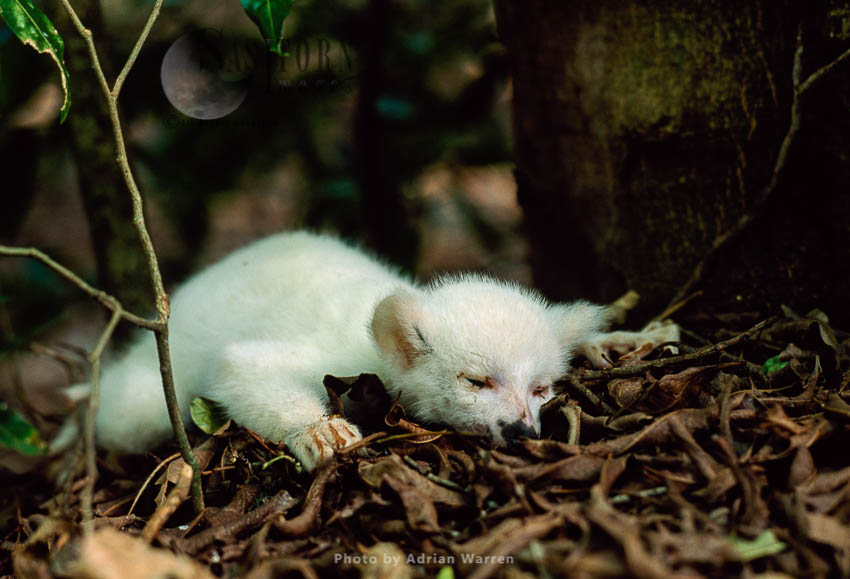 Ring-tailed Lemur (Lemur Catta): Dead All White Baby Male  Albino, Berenty, Southern Madagascar