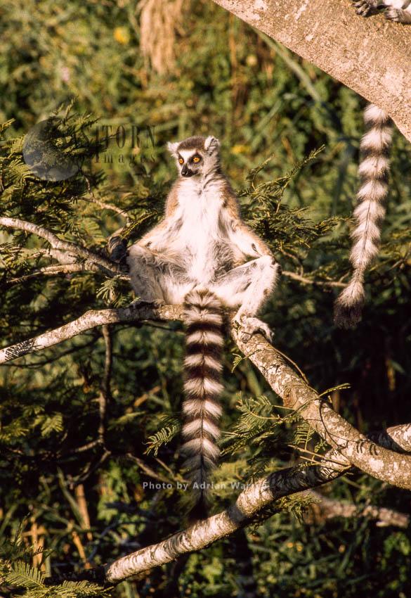 Ring-tailed Lemurs (Lemur Catta) Sunbathing On Tree, Berenty, Southern Madagascar