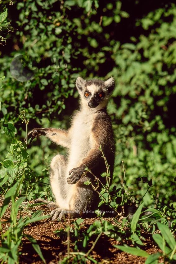Ring-tailed Lemurs (Lemur Catta) Group Sunbathin, Berenty, Southern Madagascar