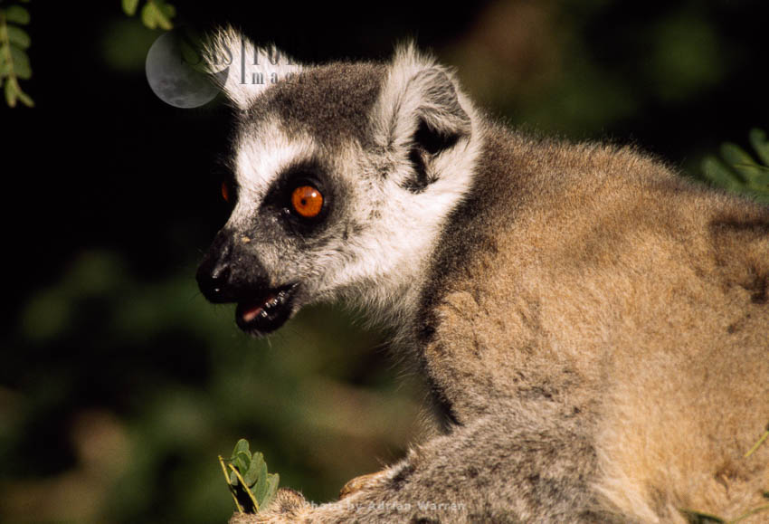 Ring-tailed Lemur (Lemur Catta) Feeding On Leaves Of Tamarind Tree, Berenty, Madagascar