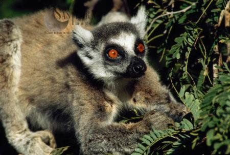 Ring-tailed Lemur (Lemur Catta) Feeding On Leaves Of Tamarind Tree, Berenty, Madagascar
