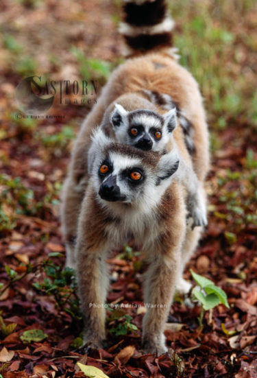 Ring-tailed Lemurs (Lemur Catta) Female Carrying Baby On Back, Berenty, Southern Madagascar