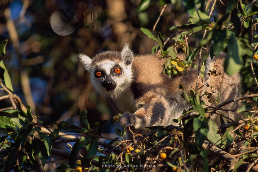 Ring-tailed Lemur (Lemur Catta) Feeding On Leaves And Burries, Sunbathing, Berenty, Madagascar