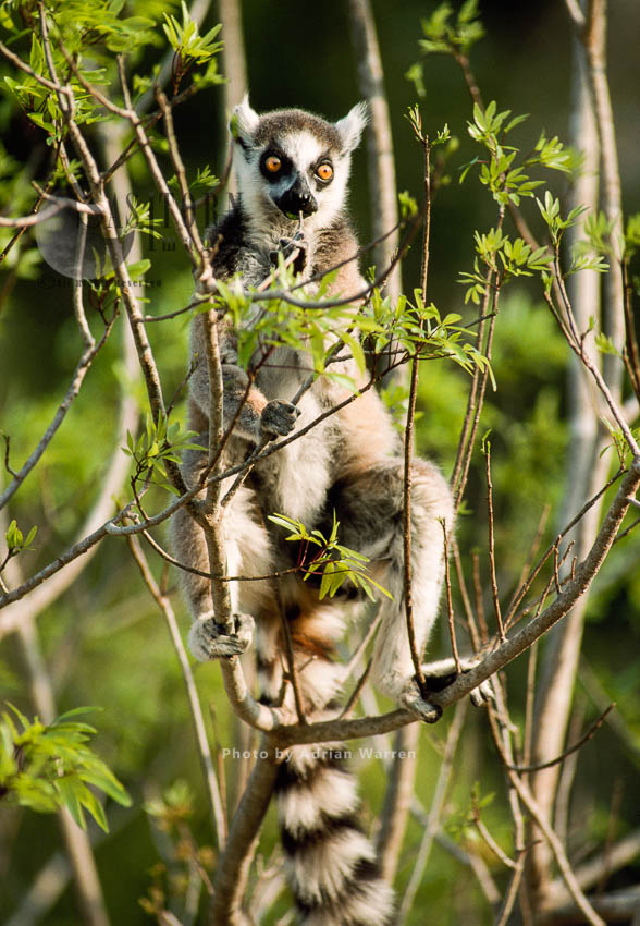 Ring-tailed Lemur (Lemur Catta) Feeding On Leaves, Berenty, Southern Madagascar