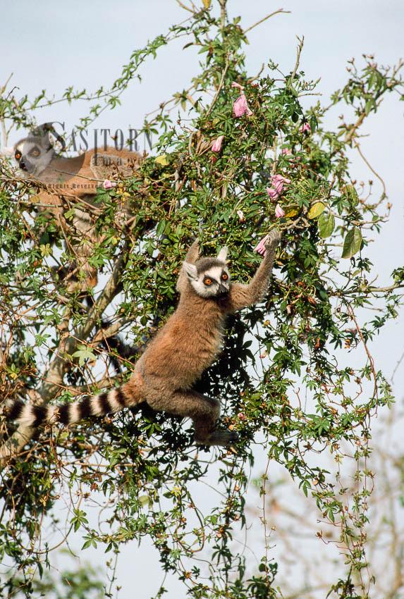 Ring-tailed Lemurs (Lemur Catta) Feeding On Flowers, Berenty, Southern Madagascar