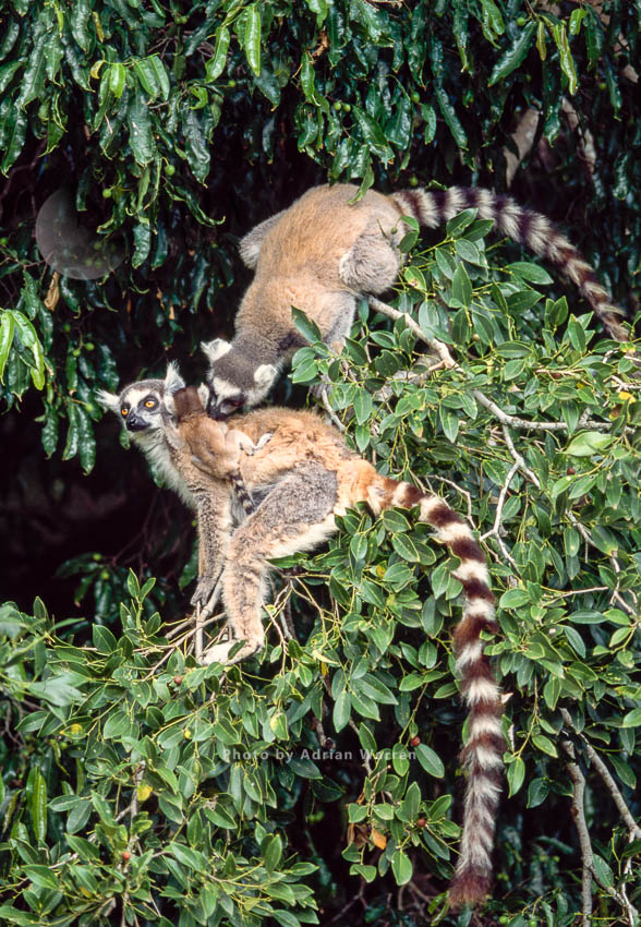 Ring-tailed Lemurs (Lemur Catta) Female With Baby With Another Lemur Grooming On The Baby, Southern Madagascar