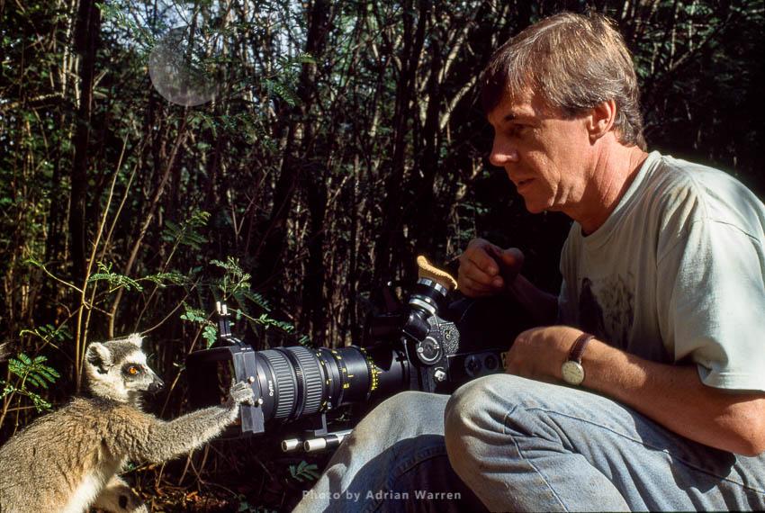 Ring-tailed Lemur (Lemur Catta) Taking Interest In Camera With Adrian Warren, Berenty, Madagascar