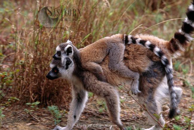 Ring-tailed Lemurs (Lemur Catta) Female Carrying Baby On Back, Berenty, Southern Madagascar