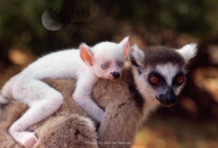 Ring-tailed Lemurs (Lemur Catta): All White Baby Male Albino Lemur On Mother Back, Berenty, Madagascar