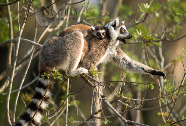 Ring-tailed Lemurs (Lemur Catta) Mother And Baby Feeding On Tree, Berenty, Southern Madagascar