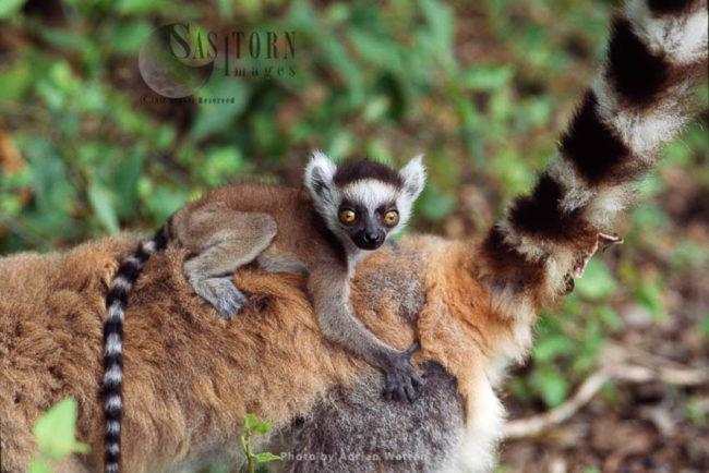Ring-tailed Lemur(Lemur Catta) Baby Lemur Clinging On Mum's Back, Berenty, Southern Madagascar