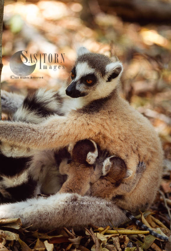 Ring-tailed Lemurs (Lemur Catta) Female  With Twin Babies, Berenty, Southern Madagascar