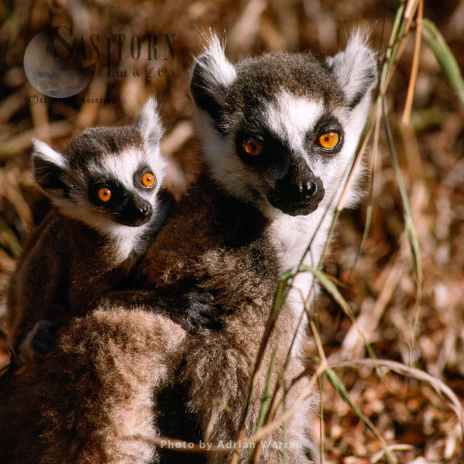 Ring-tailed Lemurs (Lemur Catta) Female  With Baby Suckling, Berenty, Southern Madagascar