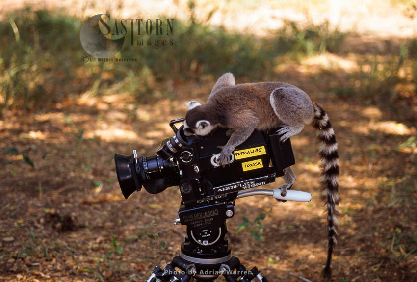 Ring-tailed Lemur (Lemur Catta) On Camera Filming, Berenty, Southern Madagascar