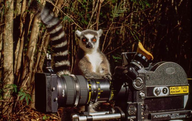 Ring-tailed Lemur (Lemur Catta) With Camera, Berenty, Southern Madagascar