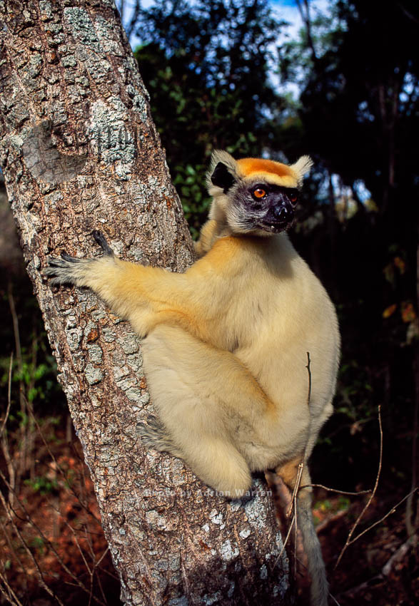Golden-crowned Sifaka (Propithecus Tattersalli), Daraina, Northern Madagascar