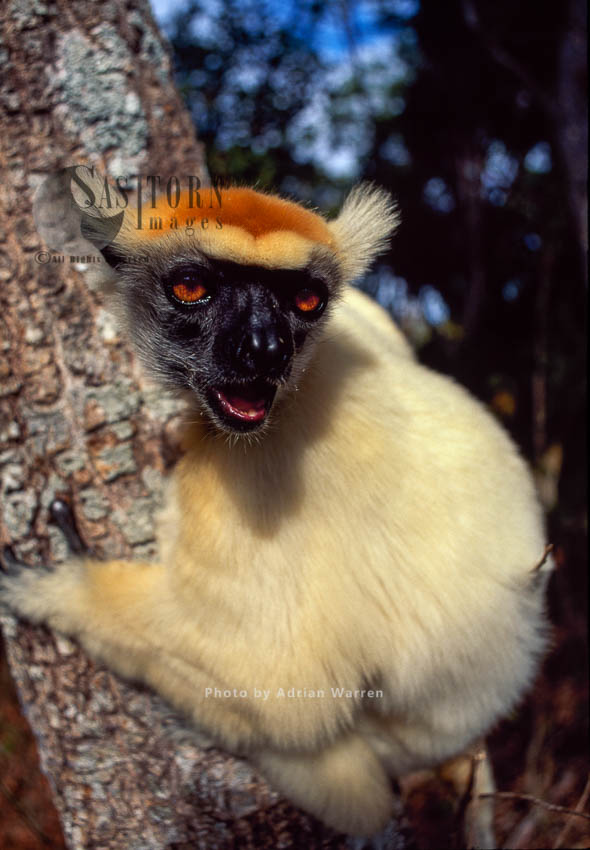 Golden-crowned Sifaka (Propithecus Tattersalli), Daraina, Northern Madagascar