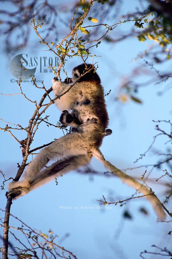 Verreaux's Sifaka (Propithecus Verreauxi), Feeding, Berenty, Southern Madagascar