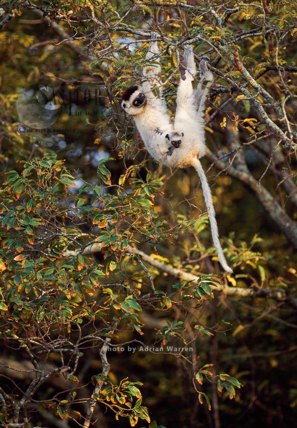 Verreaux's Sifaka (Propithecus Verreauxi), Female With Baby, Feeding On Tree, Berenty, Madagascar